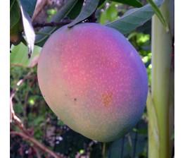 Mango Maya