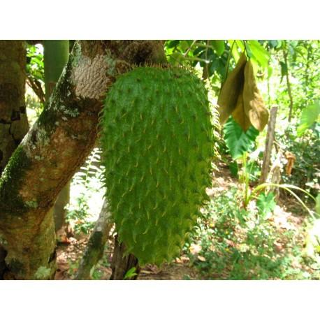 Guanábana Annona Muricata