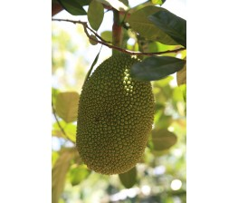 Jackfruit Black Gold