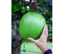 Crescentia sp, árbol de las calabazas