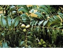 Pecan nut Wichita Carya illinoinensis