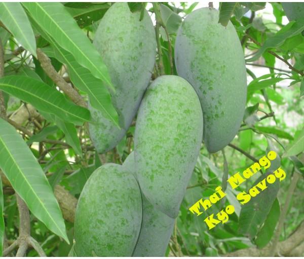 Mango Kyo Savoy Khieo Sawoei Wwwfrutalestropicalescom