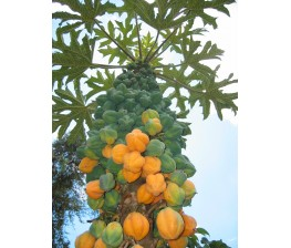 Mountain Papaya Vasconcellea pubescens