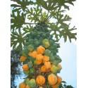 Papaya de Montaña Vasconcellea pubescens