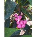 Syzygium aqueum Water apple