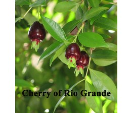 Cherry of Rio Grande Eugenia Aggregata