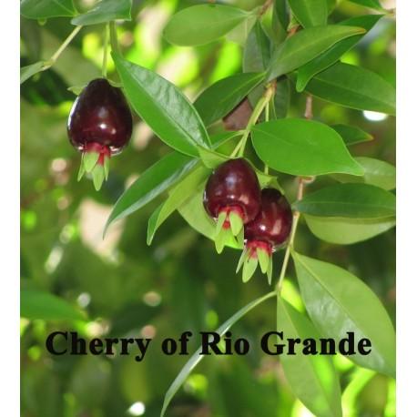 Cherry of Rio Grande Eugenia Aggregata