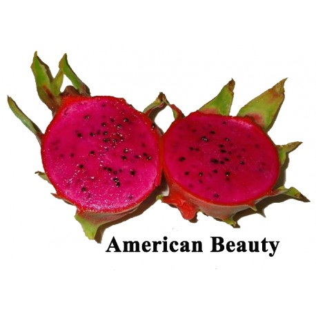 Red Pitaya Hylocereus c.v. American Beauty enraizada pequeno