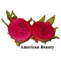 Pitaya roja Hylocereus c.v. American Beauty enraizada pequeña