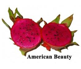 Rouge Pitaya Hylocereus c.v. American Beauty enracinée petite