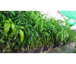 Mango Gomera1