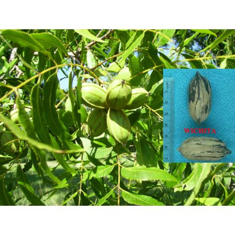 Pecano Wichita Carya illinoinensis