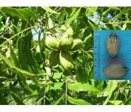 Pecano Cheyenne Carya illinoinensis