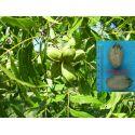Pecan nut Cheyenne Carya illinoinensis