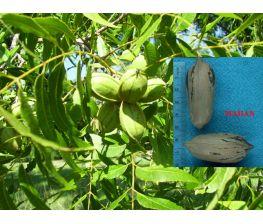 Pecano Mahan Carya illinoinensis