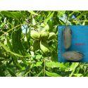 Pecan nut Mahan Carya illinoinensis