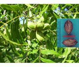 Pecan nut Cherokee Carya illinoinensis