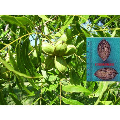 noix de pécan Cherokee