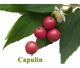 Capulin, Muntigia calabura, cereja jamaicano