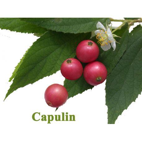 Capulin, Muntigia Calabura,cereza de Jamaica