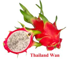 Rouge Pitaya Hylocereus c.v. Thailand wan enracinée petite