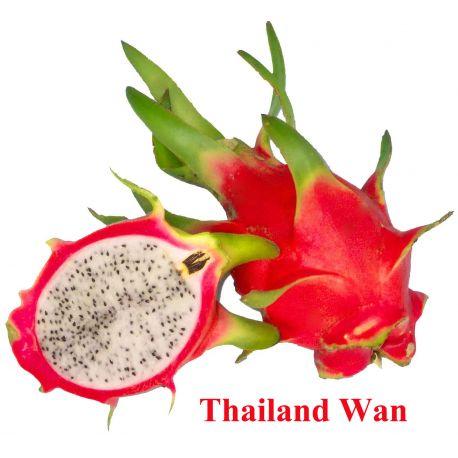 Pitaya roja Hylocereus c.v. Thailand wan enraizada pequeña