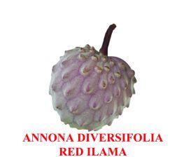 Annona Diversifolia Ilama