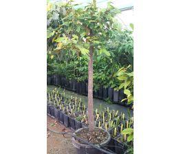 Cainito morado chrysophyllum cainito, grande