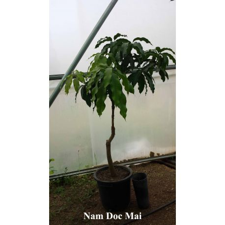 Mango Nam Doc Mai