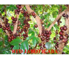 aboticaba se hybride rouges
