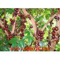 Jaboticaba red hybridizes