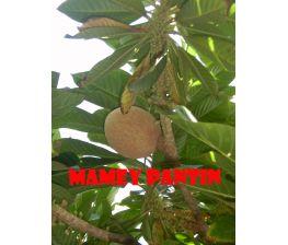 Mamey Pantin , Pouteria Sapota