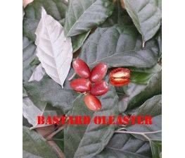 Elaeagnus latifolia, Bastard Oleaster.