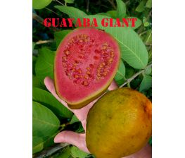 Giant guava