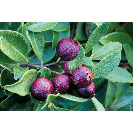 Malaysian purple guava