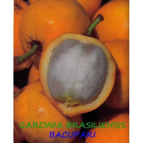 Garcinia Brasiliensis, Bacupari