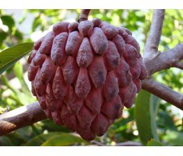 Annona squamosa red, red sugar apple