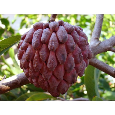 Annona Squamosa Red Red Sugar Apple Www