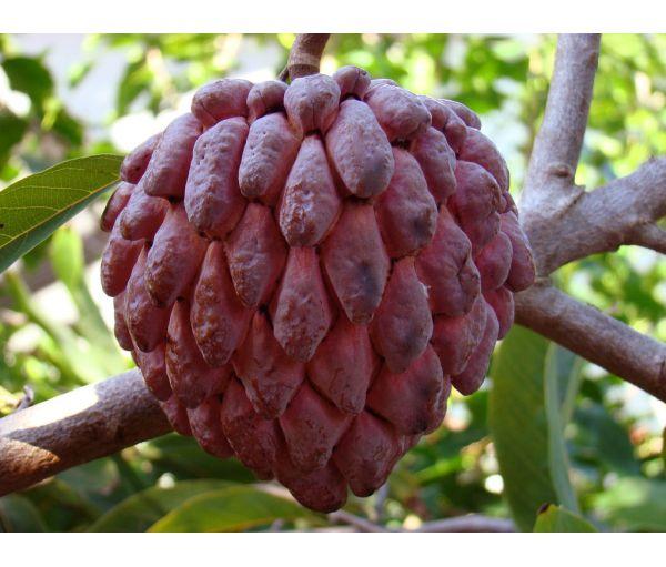 Jamaican Sweetsop Annona squamosa...