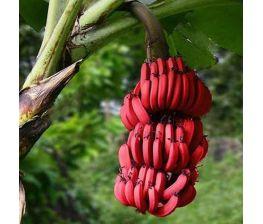 Dwarf red banana