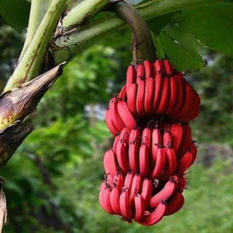 Plátano rojo enano