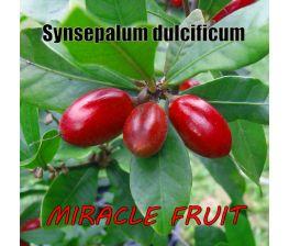 Synsepalum dulcificum, Miracle fruit