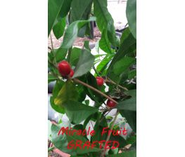 Synsepalum dulcificum, Miracle fruit Grafted