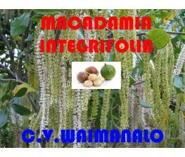 Macadamia Integrifolia c.v. Waimanalo