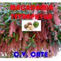 Macadamia Tetraphylla c.v. Cate