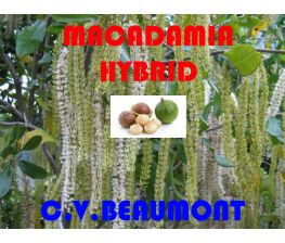 Macadamia Hybrid c.v. Beaumont