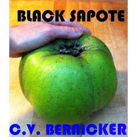 Black sapote c.v. Bernicker