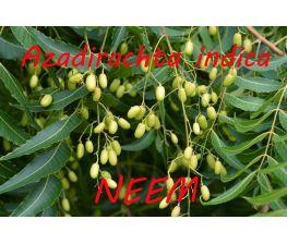 Neem, Azadirachta indica.