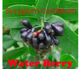 Syzygium Cordatum, Water Berry