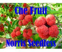 Che fruit , Maclura Tricuspidata